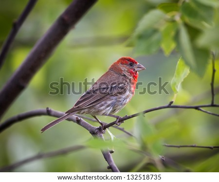 A colorful male House Finch perched on a tree limb.