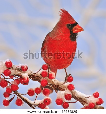 A colorful male Northern Cardinal (Cardinalis cardinalis) on a snowy branch full of bright red berries. - stock photo
