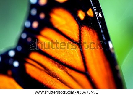 A colorful Monarch Danaus Plexippus butterfly.
