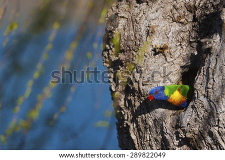 A colorful native Australian lorikeet nesting in a tree hollow.