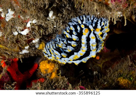 A colorful nudibranch hangs on the reef in the marine reserve of Reunion Island - stock photo