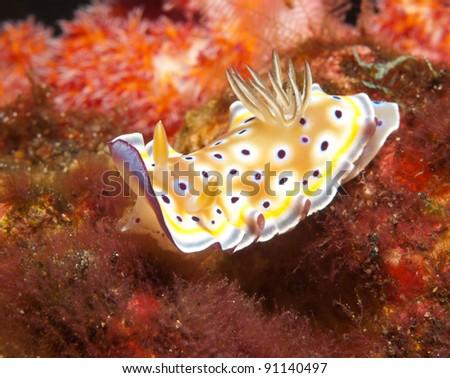 a colorful nudibranch sea slug, Chromodoris kuniei. - stock photo