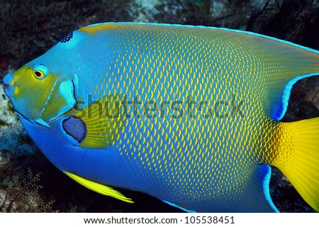 A colorful queen angelfish. - stock photo