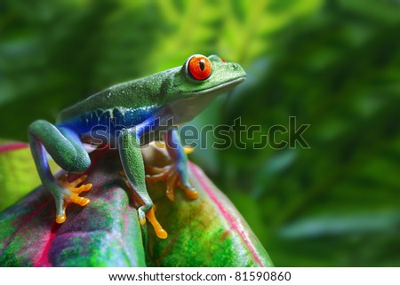 A colorful Red-Eyed Tree Frog in its tropical setting. - stock photo