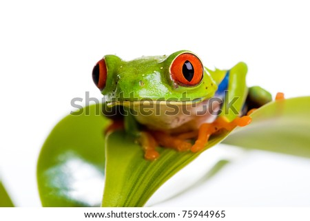 A colorful red eyed tree frog sitting on the leaf of a plant
