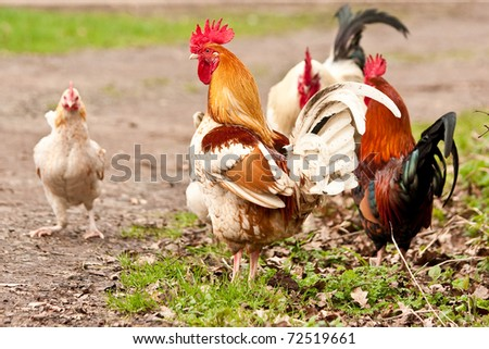 A colorful rooster with his family - stock photo