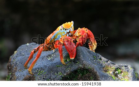 A colorful Sally Lightfoot crab on a volcanic rock - stock photo