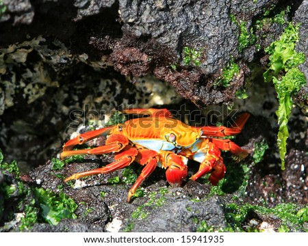 A colorful Sally Lightfoot crab tries to hide amonst the volcanic rocks - stock photo