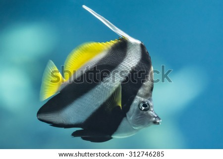 A colorful Schooling Bannerfish. Scientific Name: Heniochus diphreutes. Also known as False moorish idol, Pennantfish, Pennant Butterfly fish. Native to areas near Africa. - stock photo
