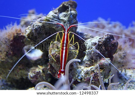 A colorful shrimp taken at the aquarium through glass. - stock photo