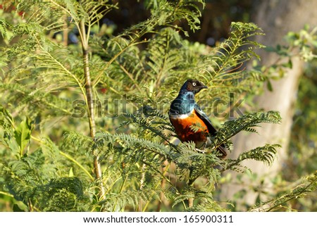 A colorful Superb Starling  - stock photo