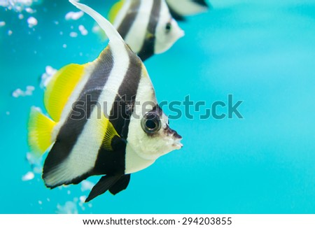 A colorful tropical copperband butterflyfish, Chelmon rostratus on blue background - stock photo