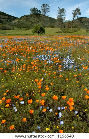 A colorful view of California Poppies, Baby Blue Eyes, Goldfields, and other wildflowers.
