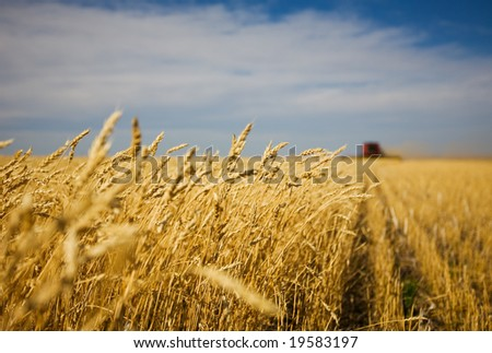 A combine harvester working in a wheat field,(focus on front row of wheat) - stock photo