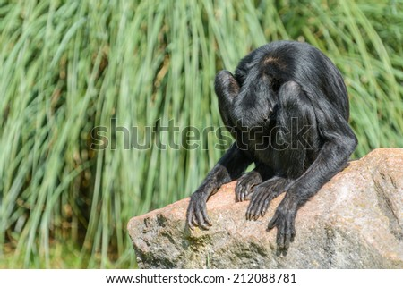 A comedic photo of a monkey with it's head between it's legs - stock photo