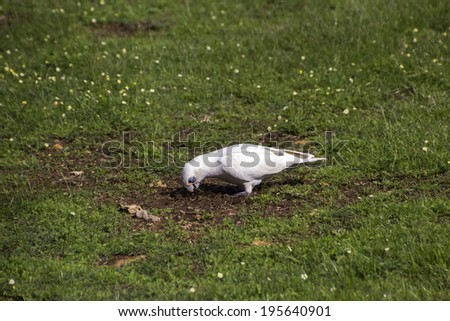 A comical  cheeky blue eyed  white Australian corella Licmetis  a subgenus of the white cockatoos (genus Cacatua)  eating green grassy tufts  in the park on a  cloudy afternoon in late autumn. - stock photo