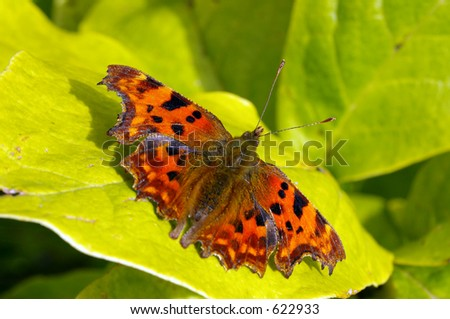 A Comma Butterfly (Polygonia c-album) sunbathing in the early Autumn sunshine.