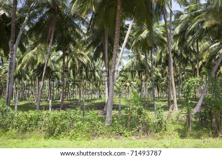 a commercial coconut plantation in sri lanka