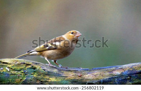 A Common Chaffinch sitting in a tree - stock photo
