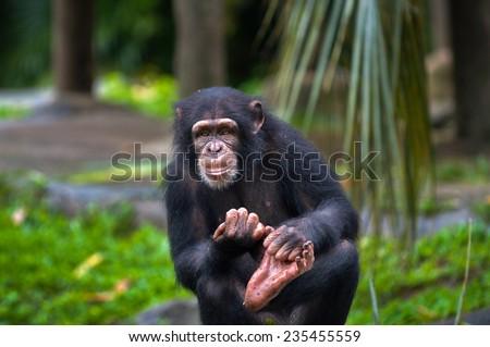 A common chimpanzee (pan troglodytes). - stock photo