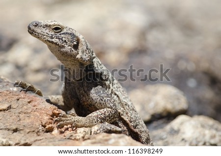 A Common Chuckwalla (Sauromalus ater) at Joshua Tree National Park. - stock photo