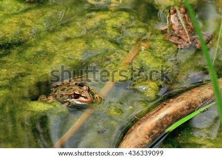 A common frog, Rana perezi, rests basking between algae in a pond of a park from Barcelona. - stock photo