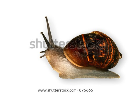 A common garden snail isolated on a white background.