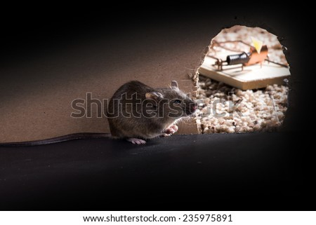 A Common house mouse (Mus musculus)   around burrows, and the hole is visible mousetrap - stock photo