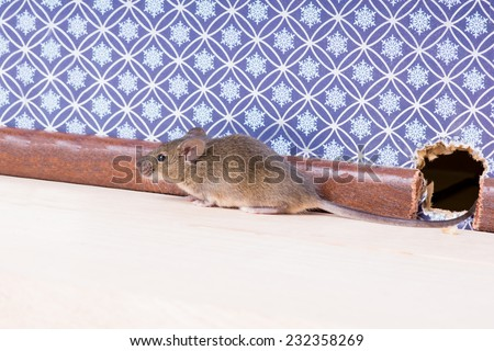 A Common house mouse (Mus musculus) from a hole in the wall - stock photo