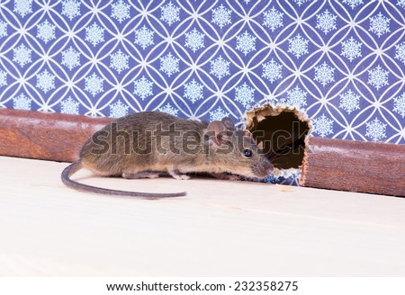 A Common house mouse (Mus musculus) in the wall near the mink - stock photo