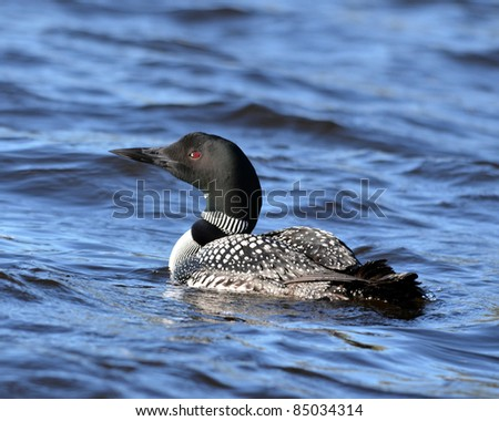 A Common Loon  in Northern Ontario Canada - stock photo
