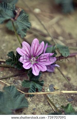 Mallow Stock Images RoyaltyFree Images Vectors Shutterstock