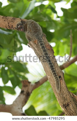 A common marmoset on a tree with its long tail