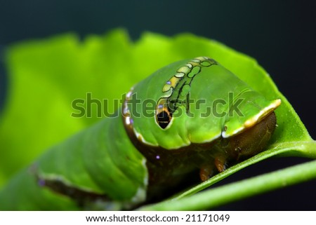 A common mormon (papilio polytes) crawling on green leaf.