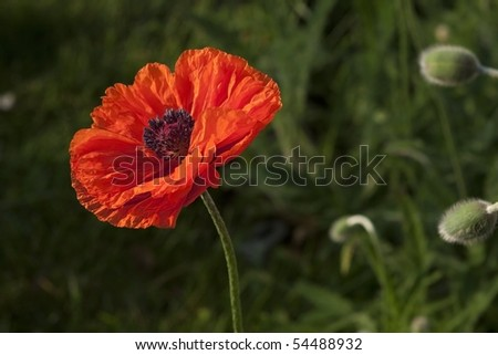 A common poppy (papaver rhoeas). - stock photo