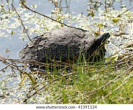 A Common Snapping Turtle (Chelydra serpentina) seen at Lake Alice on the campus of the University of Florida in Gainesville, Florida on November 21, 2009. - stock photo