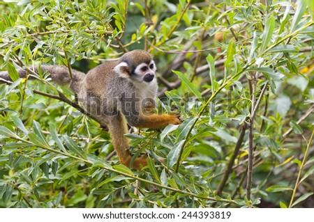 A common squirrel monkey in a bush