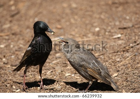 A Common Starling Feeding Juvenile in Phillip Island, Victoria, Australia - stock photo