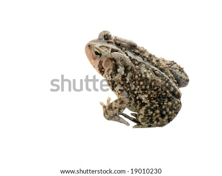 a common toad in a sitting position isolated on a white background