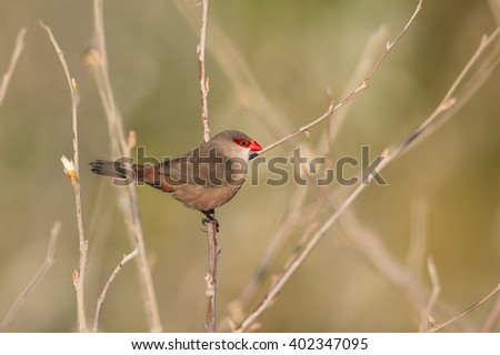 A Common Waxbill (Estrilda astrild) also known as St. Helena Waxbill perched, against a blurred natural background, Andalusia, Spain - stock photo