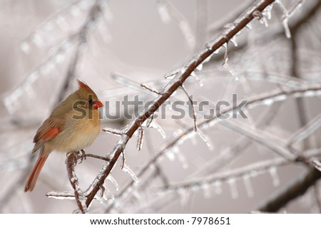 A common winter scene in the midwest is the female cardinal perched near a feeder. - stock photo