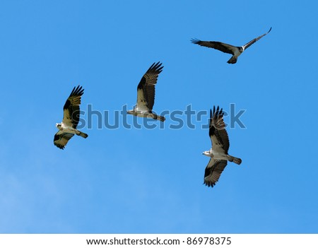 a composite of several images creating a group of Osprey on a blue sky - stock photo