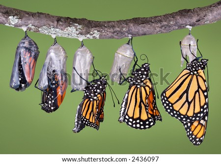 A composite of various views of a monarch emerging from a chrysalis. - stock photo