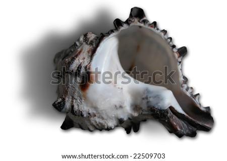 Ortho Gastropoda