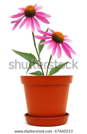 A Coneflower flower pot - stock photo