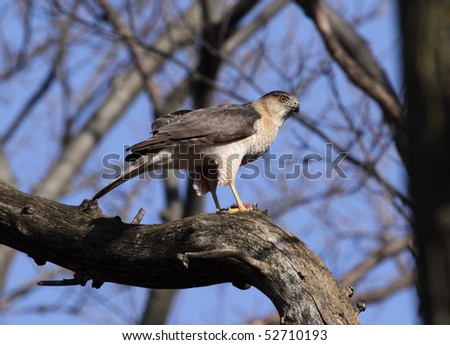 A Cooper's hawk (Accipiter cooperii) perched over it's kill.  Shot in Southern Ontario, Canada. - stock photo