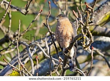 A Cooper's Hawk perched on a tree limb - stock photo