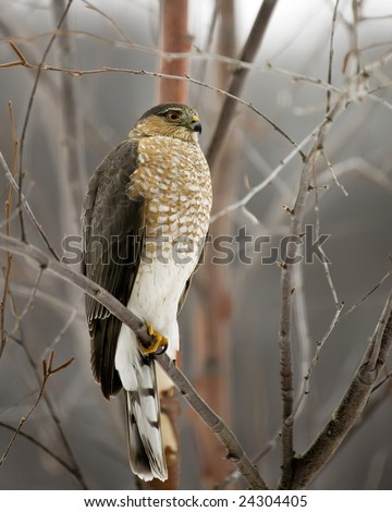 A Cooper's Hawk perched on a tree limb on a cold winter day. - stock photo