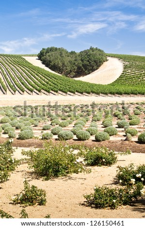 A copse of trees forms a heart shape on the hills of scenic California vineyard - stock photo