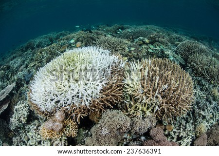 A coral colony has been bleached by warm water temperatures. Bleaching occurs when the coral's symbiotic algae leaves the coral tissues. This process can eventually led to coral mortality. - stock photo
